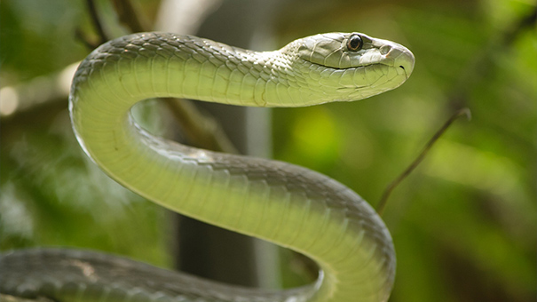 ブラックマンバヘビ
