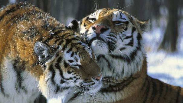 シベリアトラを救え 番組紹介 ナショナル ジオグラフィック (TV)
