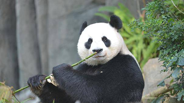 ジャイアントパンダ:繁殖への挑...
