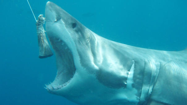 ホホジロザメの画像 p1_28