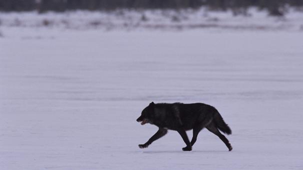 伝説の黒オオカミ